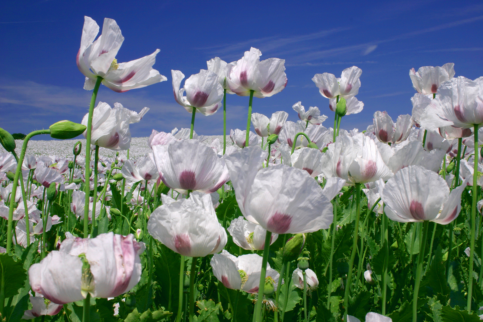 A close view of poppies in a field