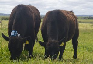 Two cows in a paddock, one has the black sensor around its neck