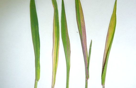 Figure 4. Discolouration of wheat leaves caused by Russian wheat aphid