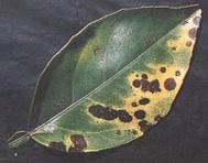 Manganese toxicity leaf