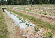 Evaluating soil health in a blueberry trial