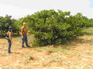 Cashews are being developed for sandy soils in Vietnam
