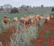 Sheep grazing alley farming site - Grain and Graze funded research
