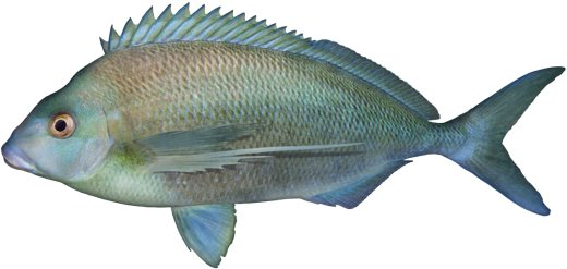 Grey Morwong