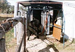 Cow leaving a crush