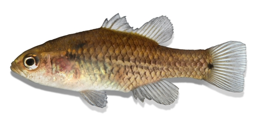 Oxleyan Pygmy Perch. Illustration: Pat Tully