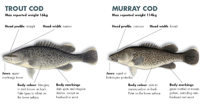 Juvenile Murray cod and trout cod, both have an eye stripe.