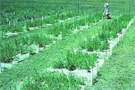Photo of lucerne field trial to evaluate rhizobial strains