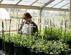 Segregating fieldpea populations