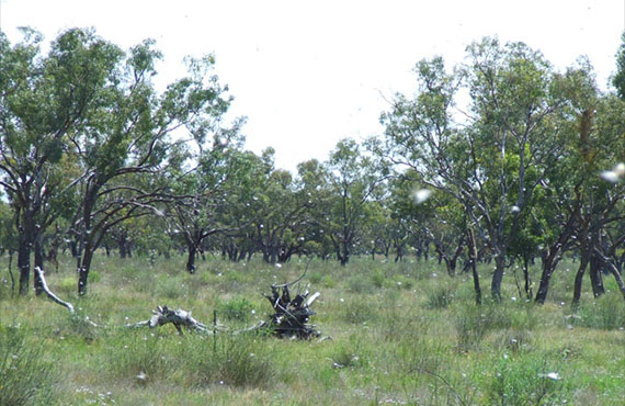 Low density locust swarm found near Brewarrina, in the state's north-west (October 2010)