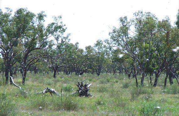Low density locust swarm found near Brewarrina, in the state's north-west (October 2010)