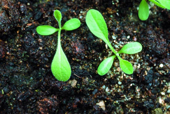 black knapweed seedlings