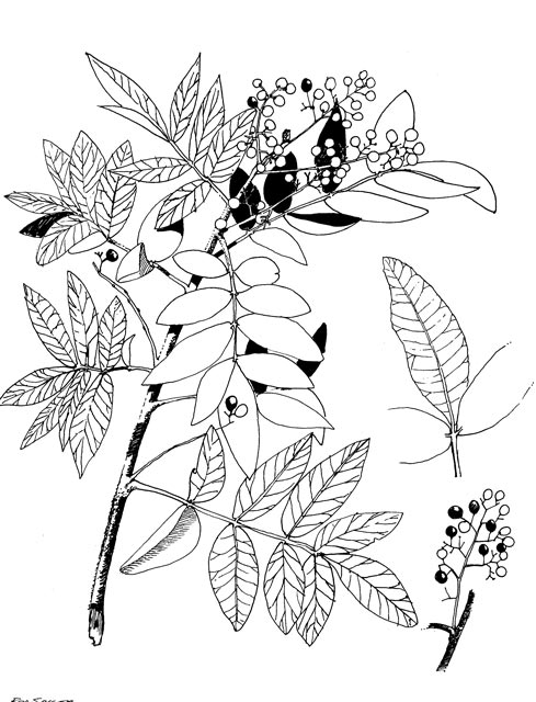 Broad-leaf pepper tree line drawing