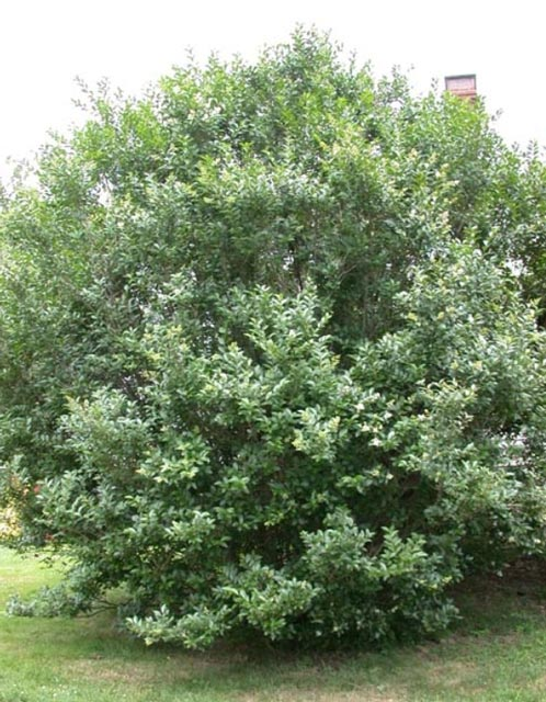 European privet tree