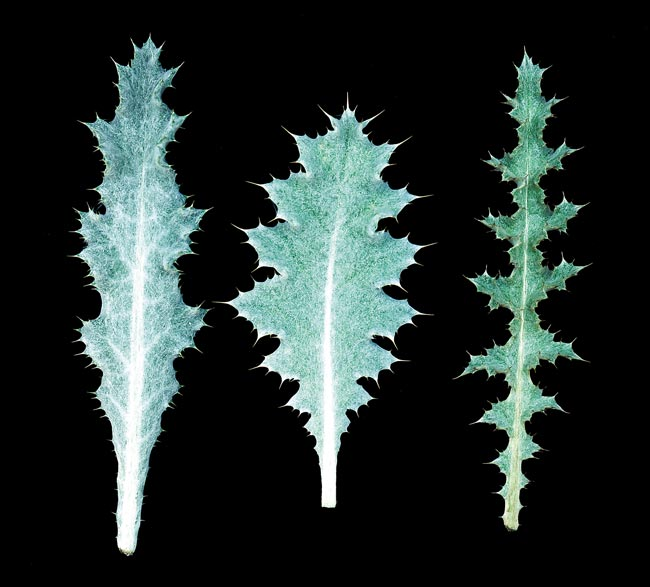 Comparison of Onopordum species rossette leaves