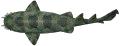 Shark - Wobbegong