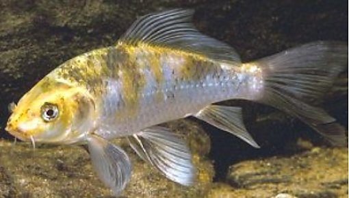 General information about carp for Koi fish australia