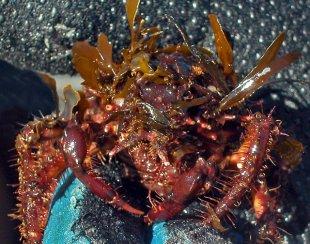 Seaweed Decorator Crab