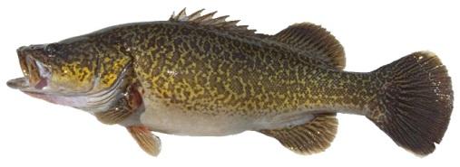 Eastern Freshwater Cod.