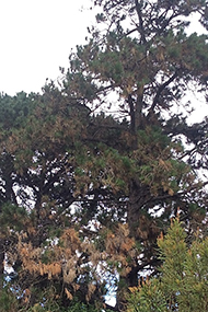 Radiata pine with approximately 25% of needles brown and wilted, mostly at base of tree