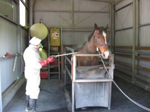A horse is being cleaned in a purpose built room