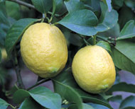 Two lemons on tree