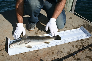 A fish on a catch and release mat