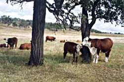 Brahford cow and calf
