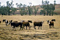Cattle grazing in paddock