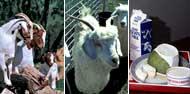 Meat, fibre & dairy goats