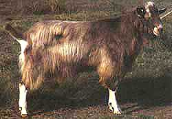 Toggenburg buck
