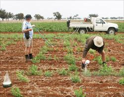 Mechanical inoculation of field peas