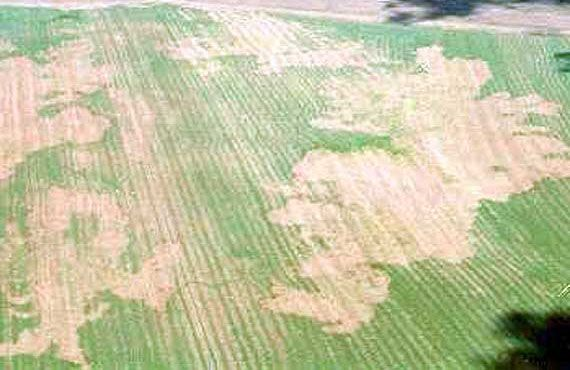 Not all locust damage can be seen from the edge of crops.  This photo shows the importance of going into crops to check for locust egg beds and locust activity.