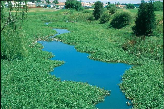 Alligator weed infesting a waterway