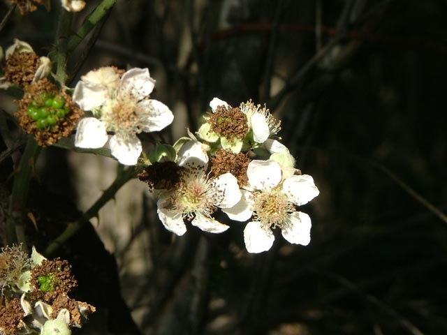 blackberry weed - photo #33