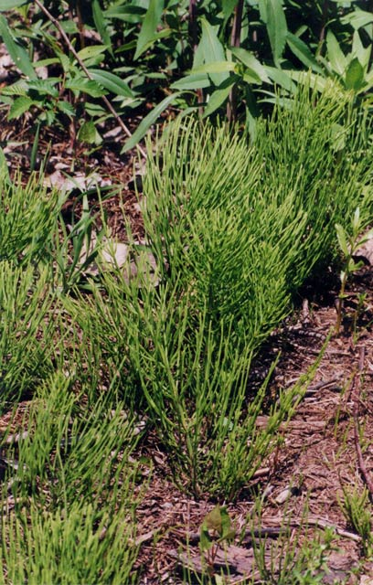 Small infestation of horsetail.
