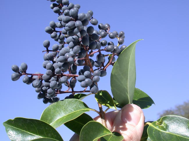 Broad-leaf privet berries