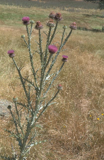 Illyrian thistle plant