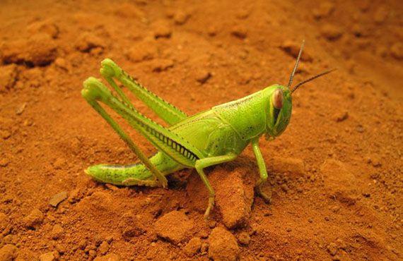 Image 24. Spur-throated locust