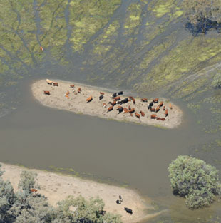 Stranded cattle