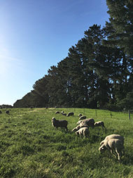 Photo of sheep eating on a grassy hill