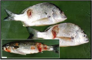 Figure 2. Bream and mullet with lesions caused by 'redspot' disease. This disease has been linked to acid drainage water, which causes skin damage and allows a fungus to invade the skin, causing lesions (Photo: Richard Callinan)