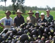 Egglplant harvest