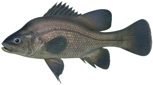 Macquarie Perch. Illustration: Pat Tully