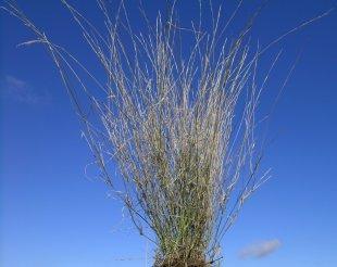 Purple wiregrass