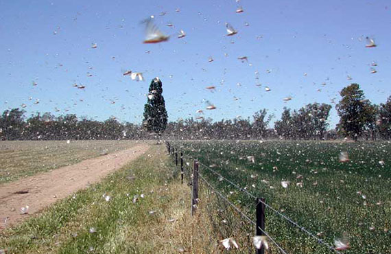 High density locust swarms trapped against trees lining the Lachlan River caused major damage to lucerne in this 2004/05 plague