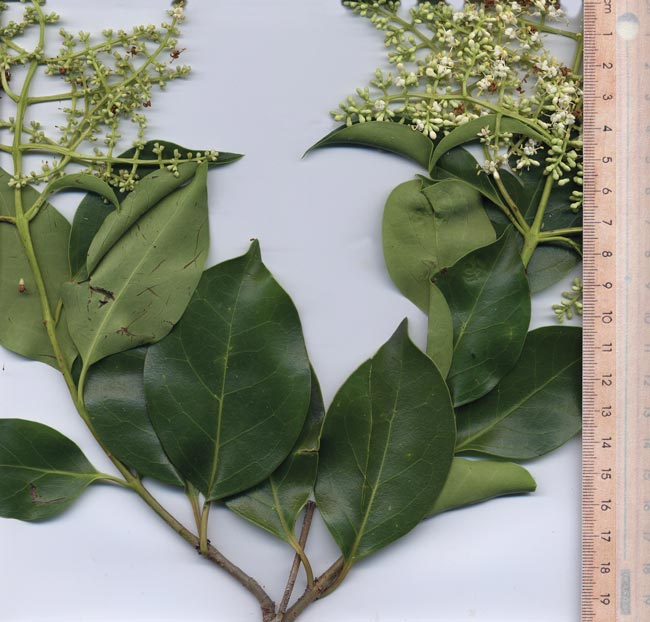 Broad-leaf privet leaves