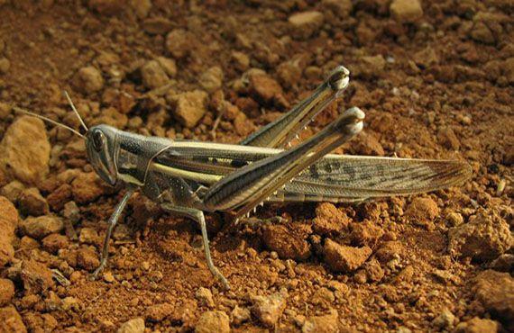 Image 23. Spur-throated locust