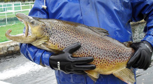 Brown Trout from display pond