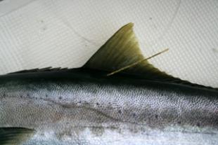 Correct pelagic tag location on a Yellowtail Kingfish